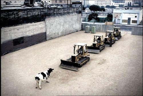 Tiananman-square-cow