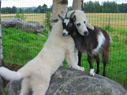 Goat_and_dog