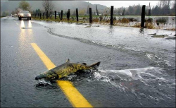 Chum-Salmon-Crossing-Flooded-Road